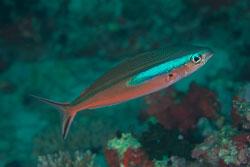 BD-130709-Maldives-9948-Pterocaesio-tile-(Cuvier.-1830)-[Dark-banded-fusilier].jpg